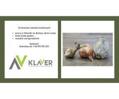 Praca przy cebulkach w Holandii - wyjazd 22-07- pracownik produkcji