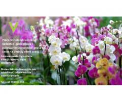 Holandia, praca przy kwiatach doniczkowych, od zaraz