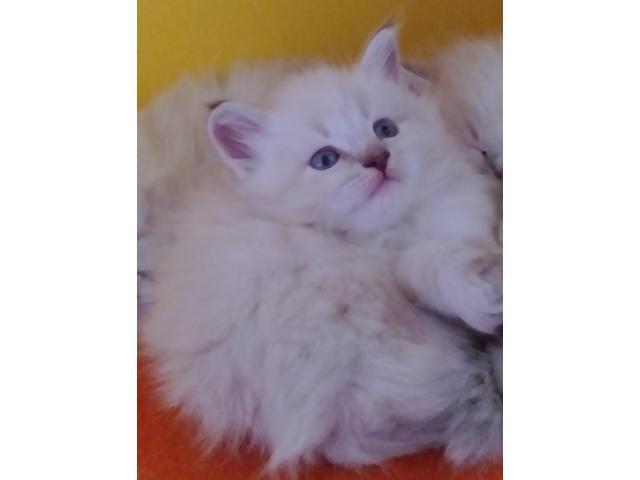 Koty syberyjskie neva masquarade